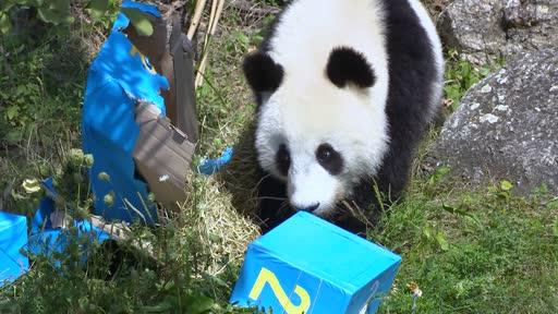 Die Panda-Zwillinge Fu Feng und Fu Ban haben heute, Dienstag, im Wiener Tiergarten Schönbrunn ihren zweiten Geburtstag gefeiert. Ihre Pfleger überraschten sie mit etwa zwei Dutzend aufwendig verzierten blauen und rosa Geschenkpäckchen. Darin fanden sich Süßkartoffeln, Karotten und Paprika, aber auch spezielle Bambussprossen.